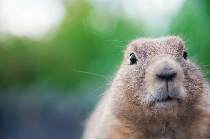 Close up of a cute prairie dog looking at the camera